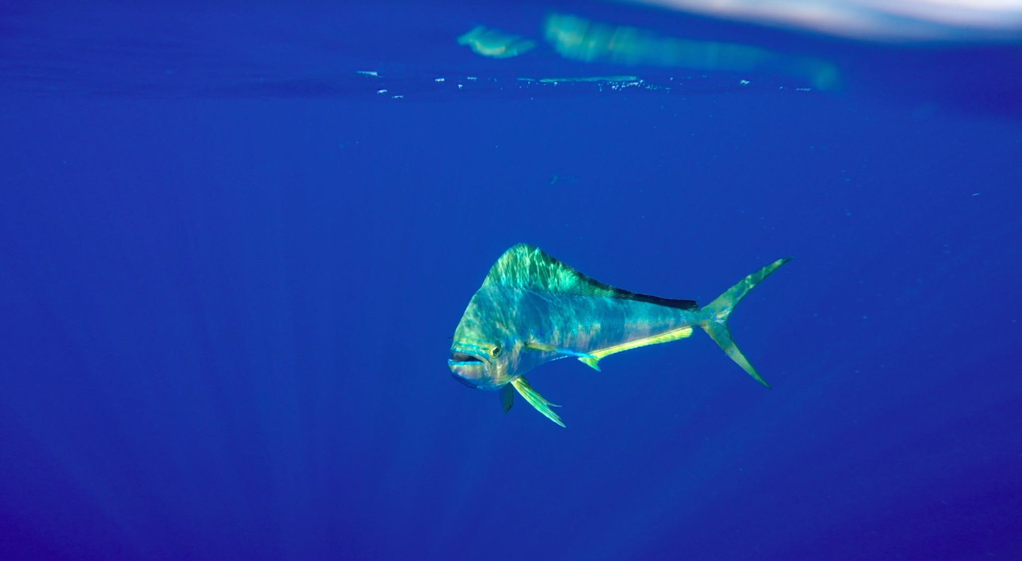 Mahi Mahi (dolphinfish) as captured by Hannah Van Alstine during Plastics Research
