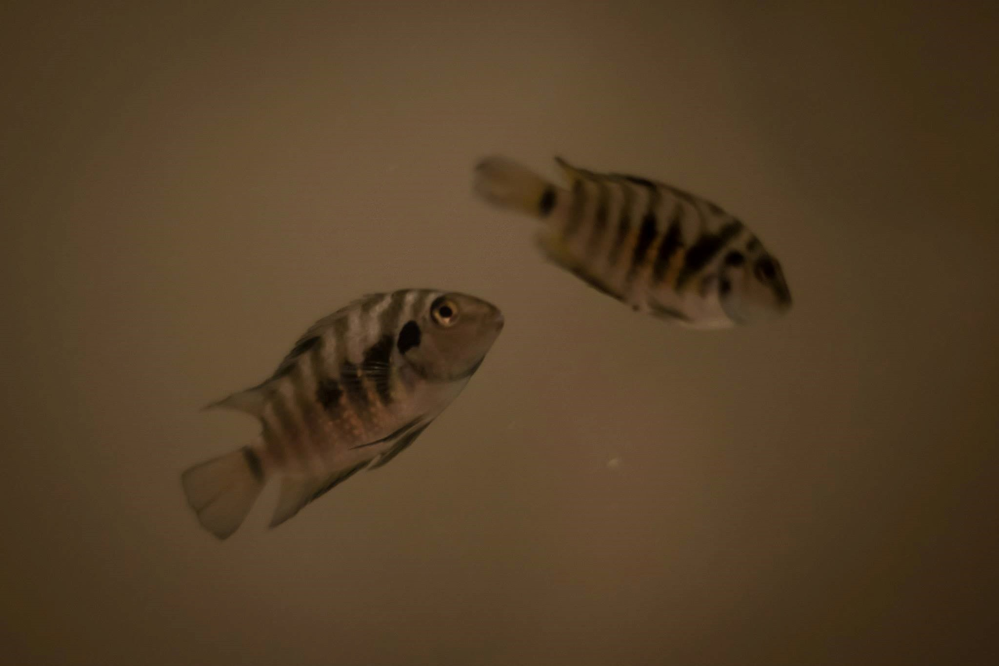 Two fish from Chris's basement lab