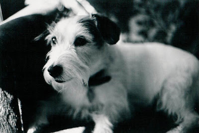 cute dog jack russell