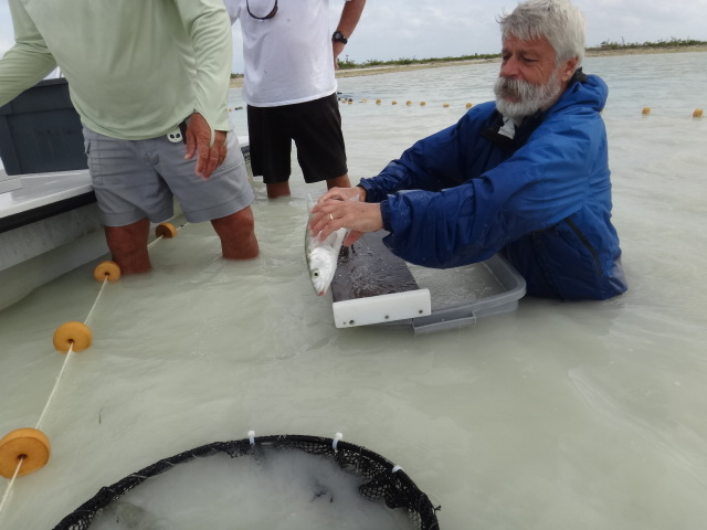 Dave-Philipp-releasing-tagged-bonefish.jpg