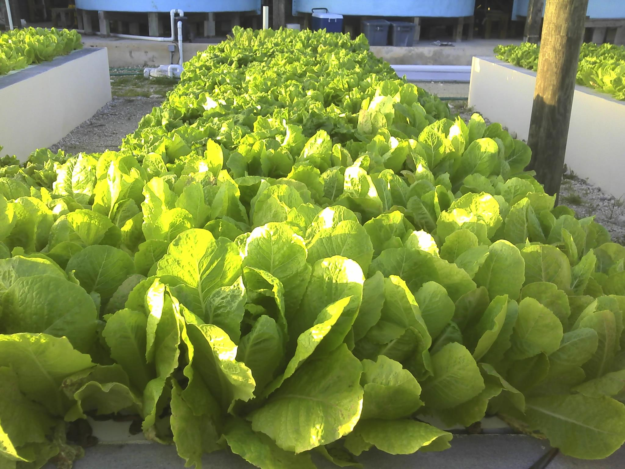 Aquaponics Lettuce Grow Beds, CEI