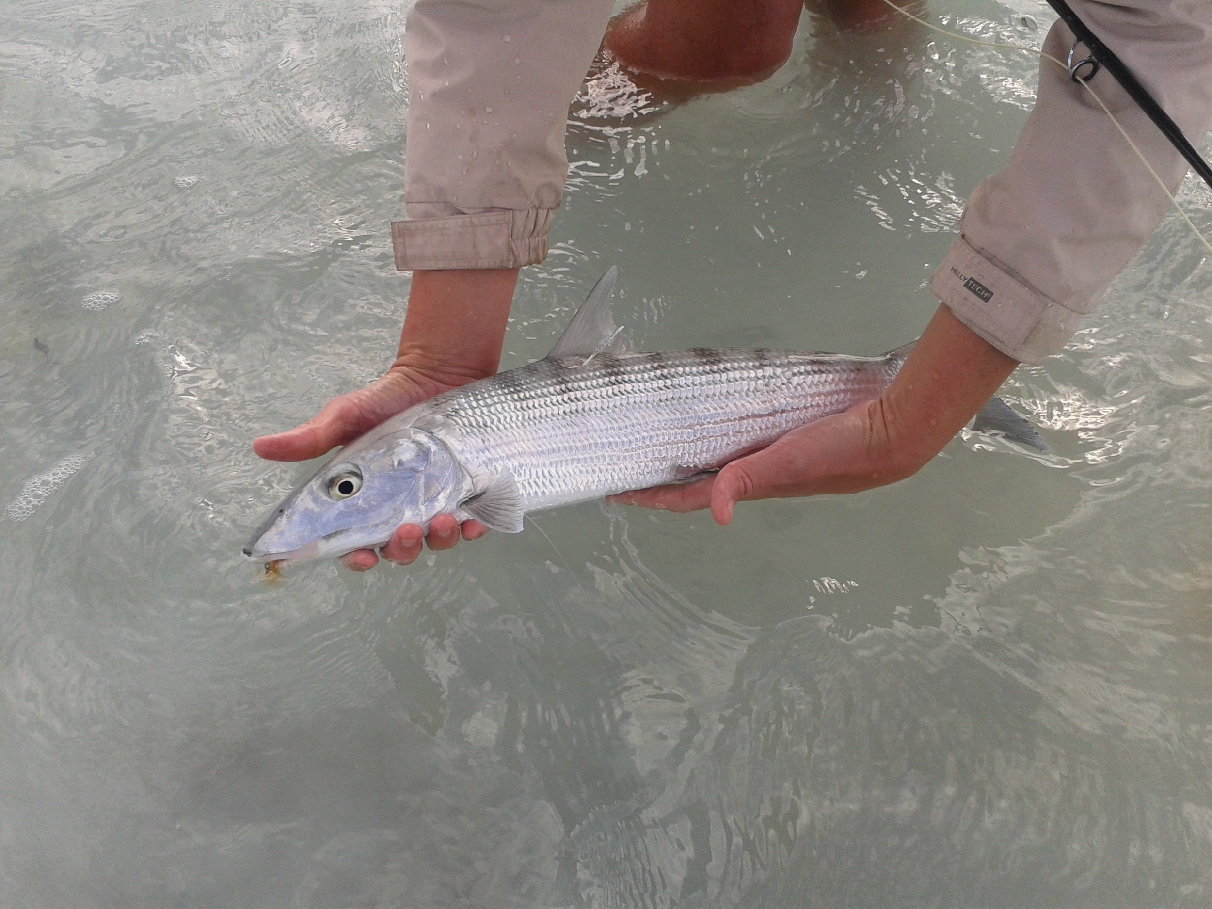 Proper handling of a bonefish before tagging.