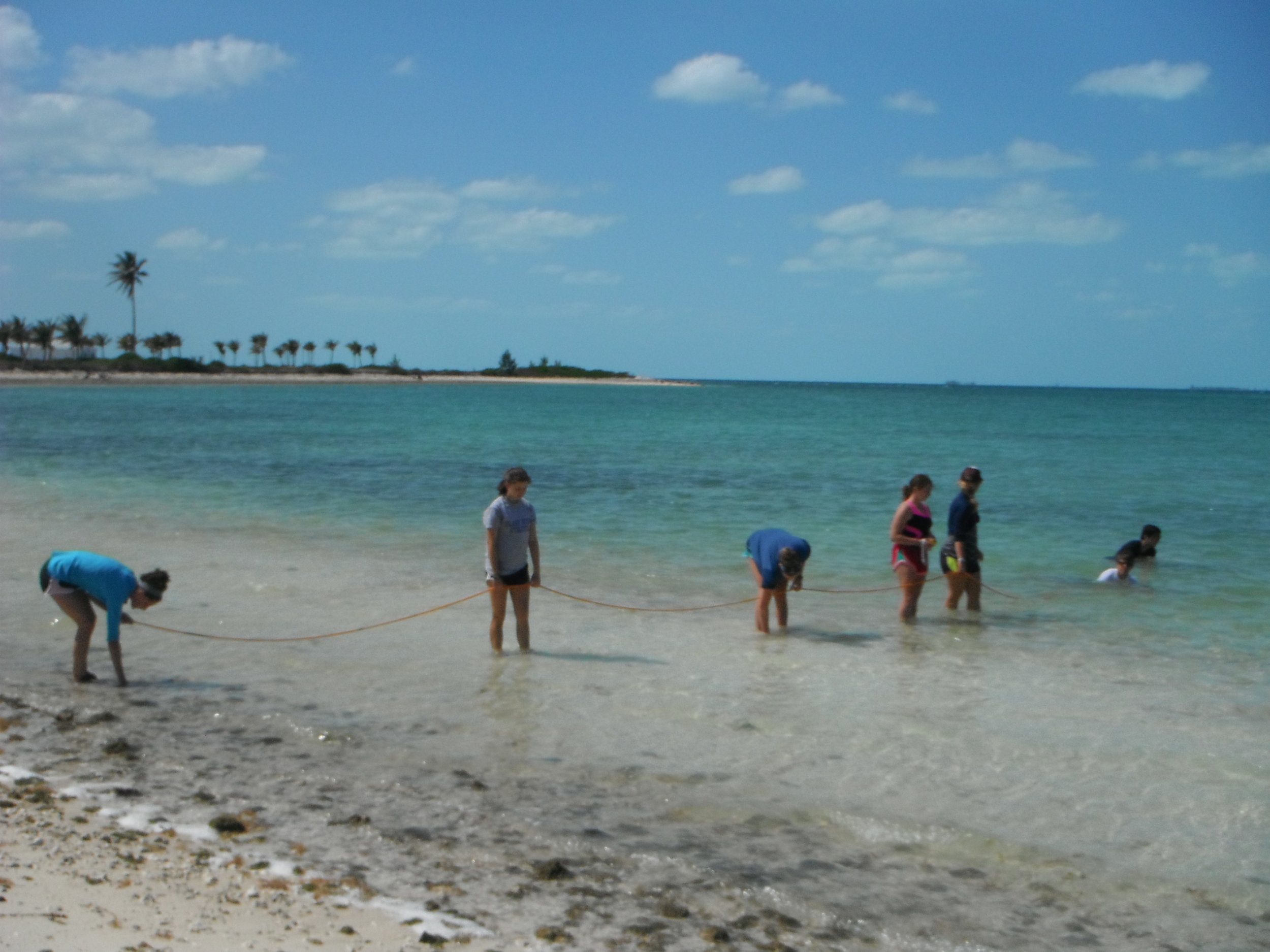 Island School students perform a walking transect, identifying and marking juvenile queen conch on Sunrise Beach.