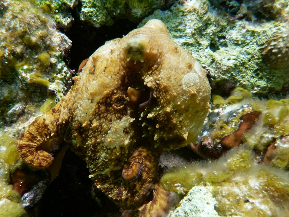 A Caribbean two-spot octopus