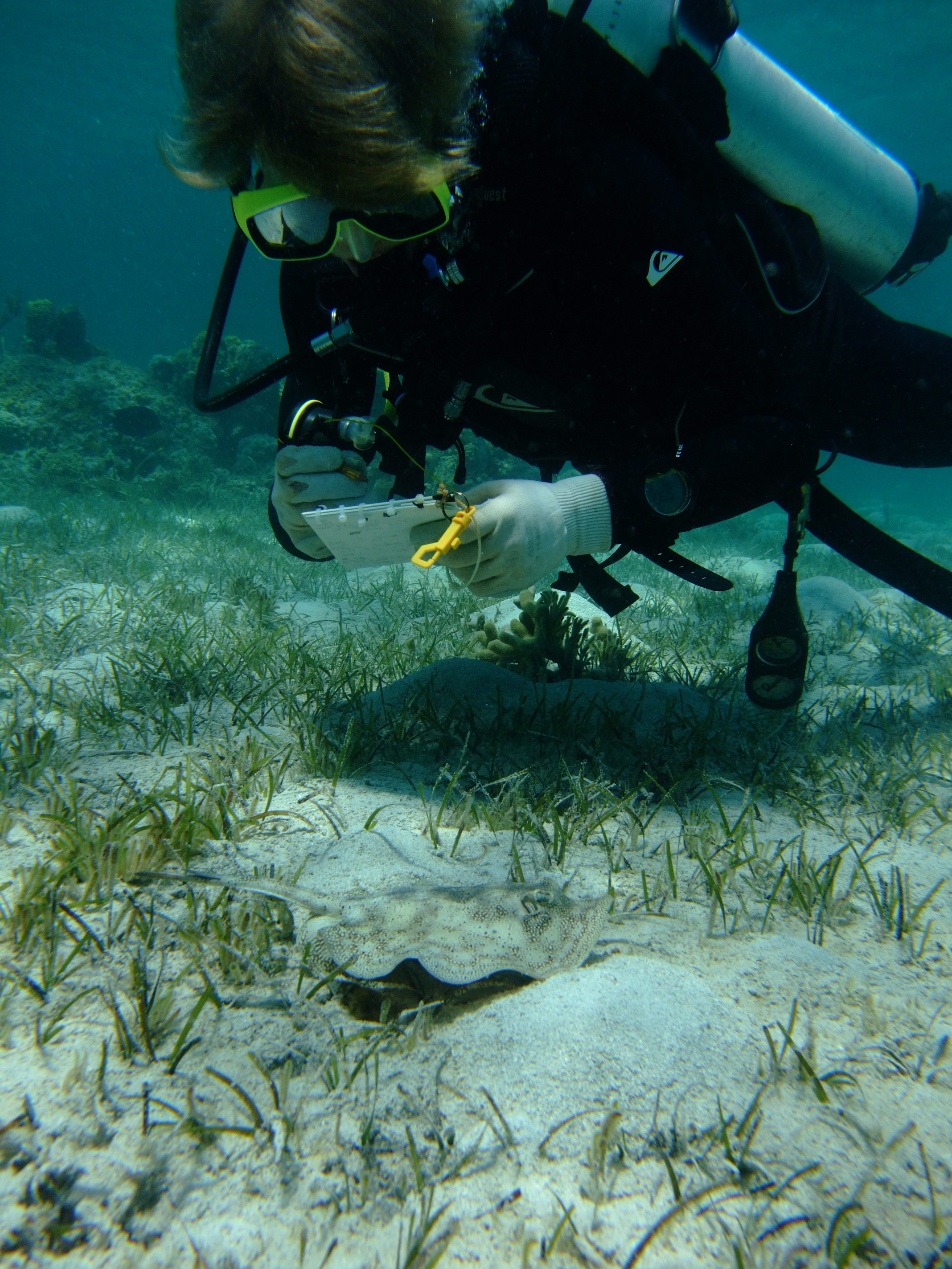 SFU undergraduate researcher Sev counts yellow stingrays on a patch reef.