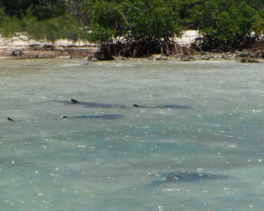 Although no bonefish were captured near Lucayan National Park, a nurse shark spawning aggregation was spotted on a wind-blown flat. Not only bonefish rely on shallow water habitats; juvenile fish, spiny lobster, turtles, stingrays, and nurse, lemon, and bonnethead sharks are all important species that rely on healthy flats and mangroves for feeding, protection, and reproduction.