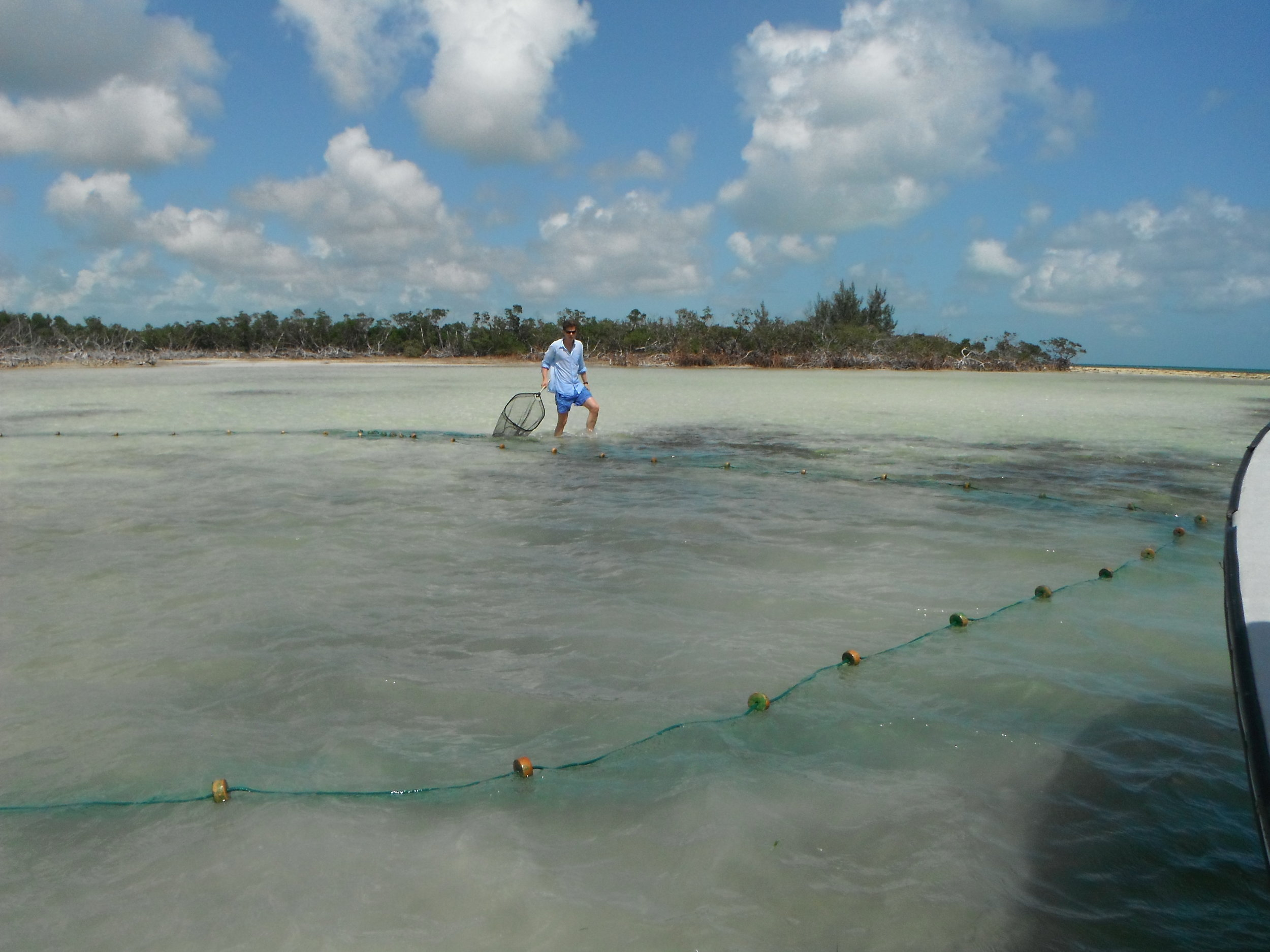 A researcher observes bonefish that have been corralled in the seine net, waiting to be tagged and released.