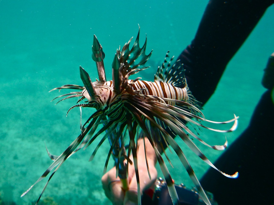 A speared lionfish