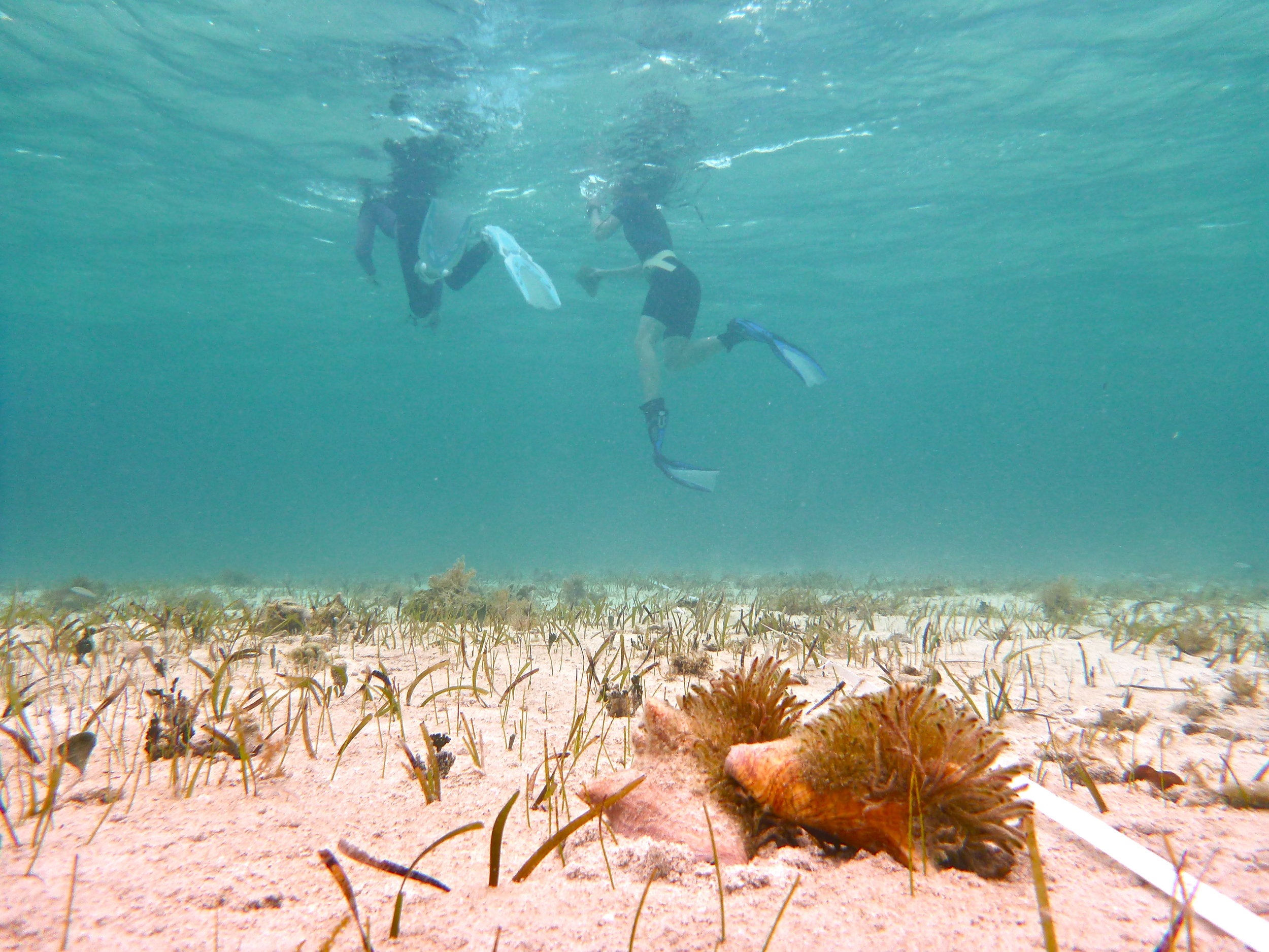 The conch team performs snorkel transects in the shallow waters off CEI beach.