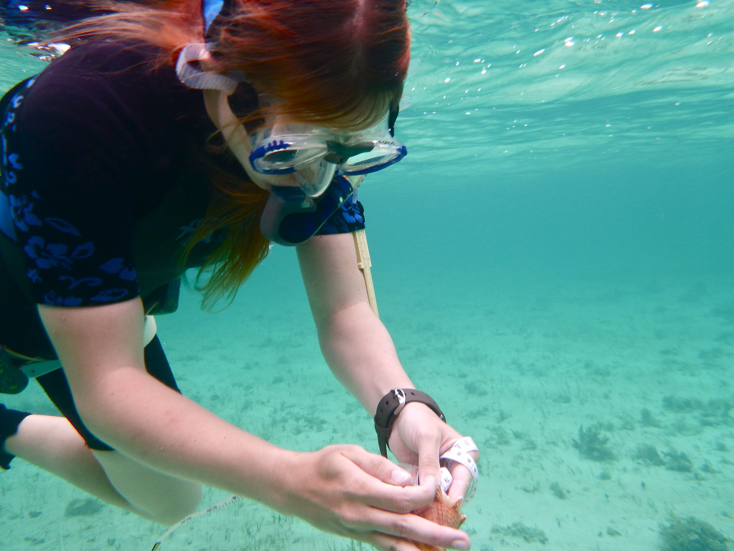 Team member Rey measure conch siphonal length.