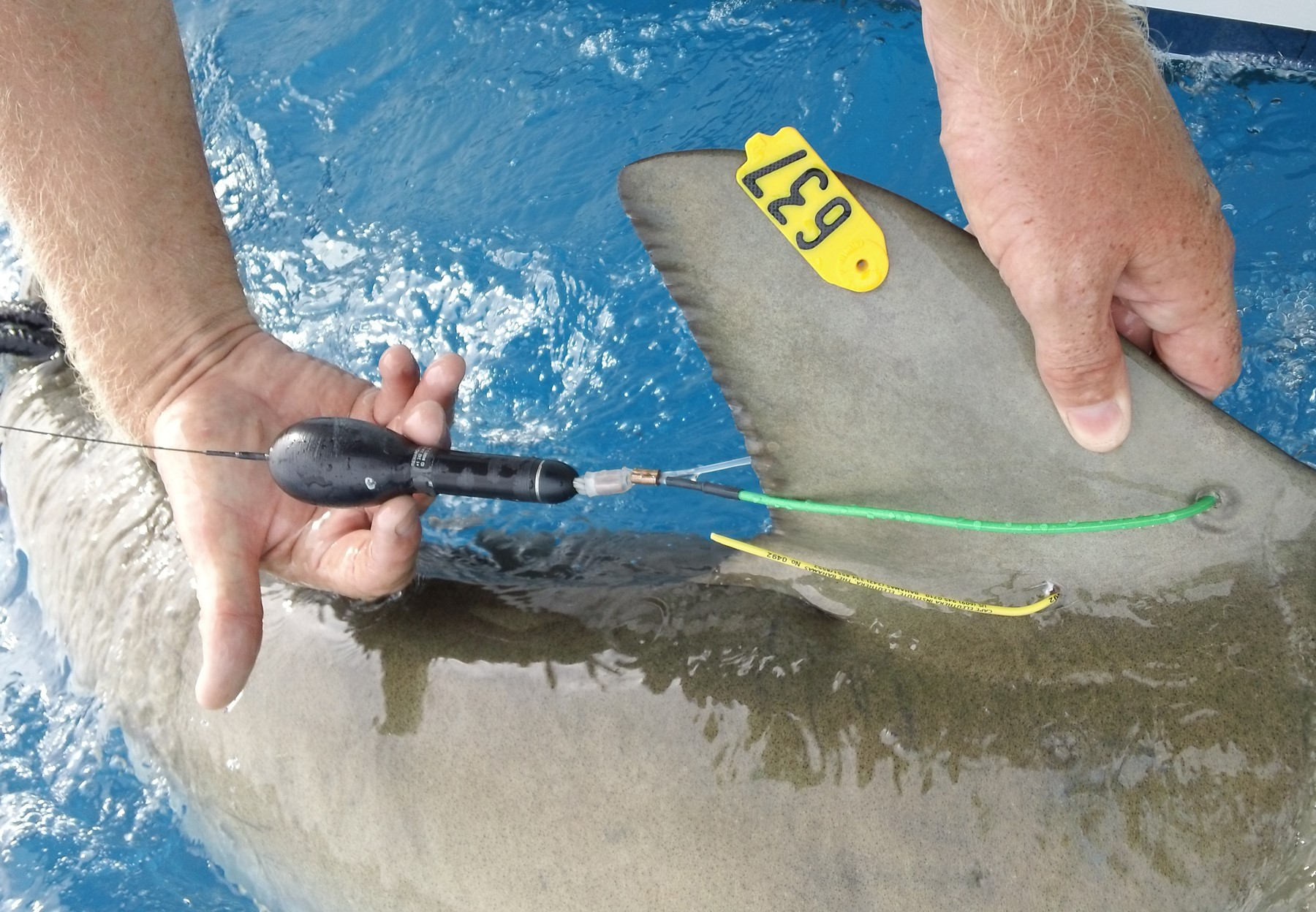 An X-Tag on a shark's dorsal fin.