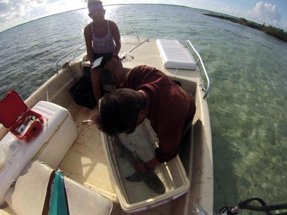 Measuring and tagging a lemon shark.