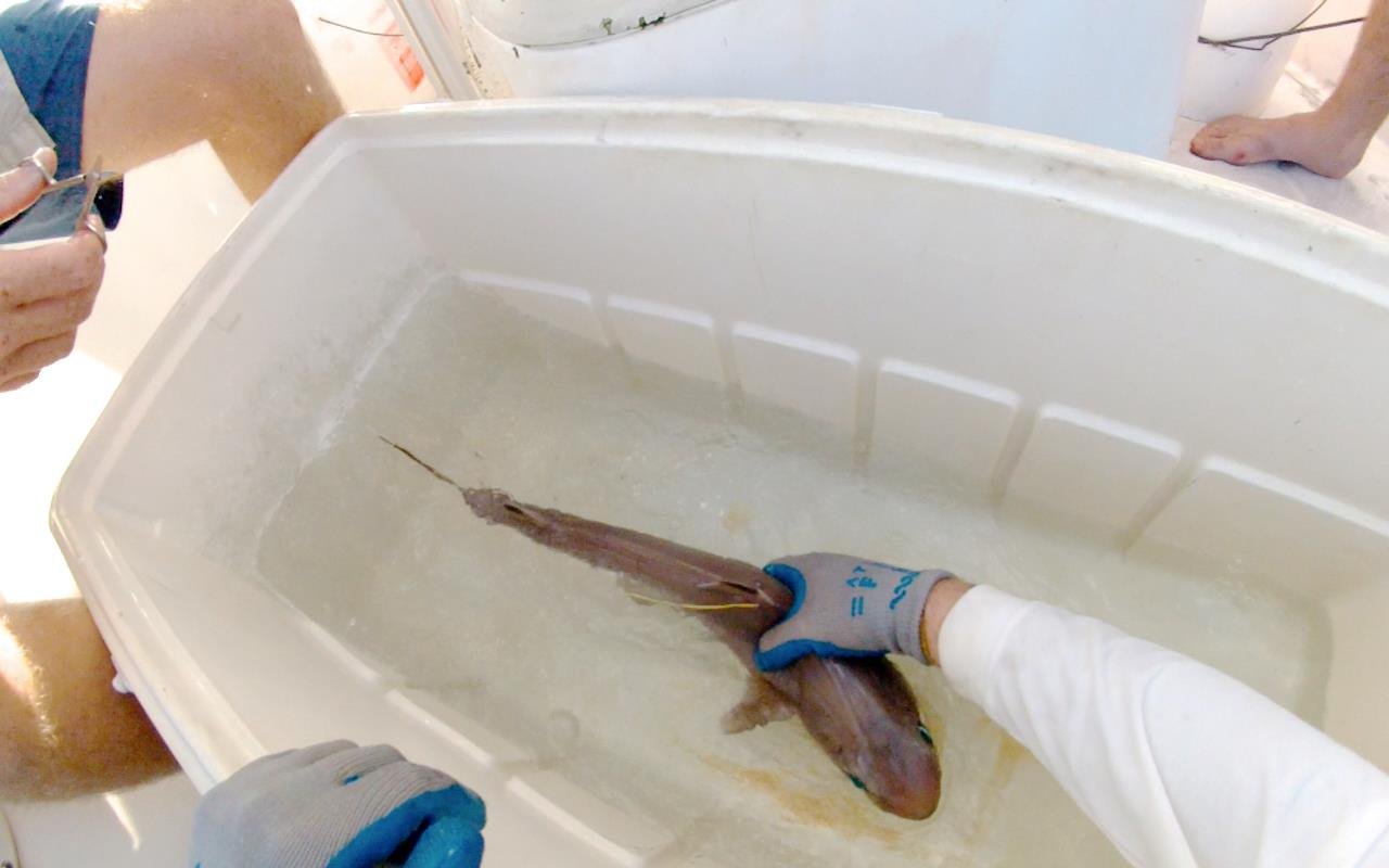 A Cuban dogfish Squalus cubensis  immediately prior to release