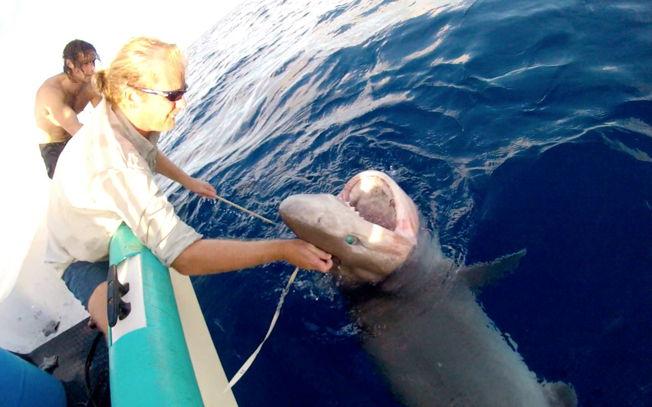 Edd securing the head of a bluntnose sixgill Hexanchus griseus caught in 700 meters of water