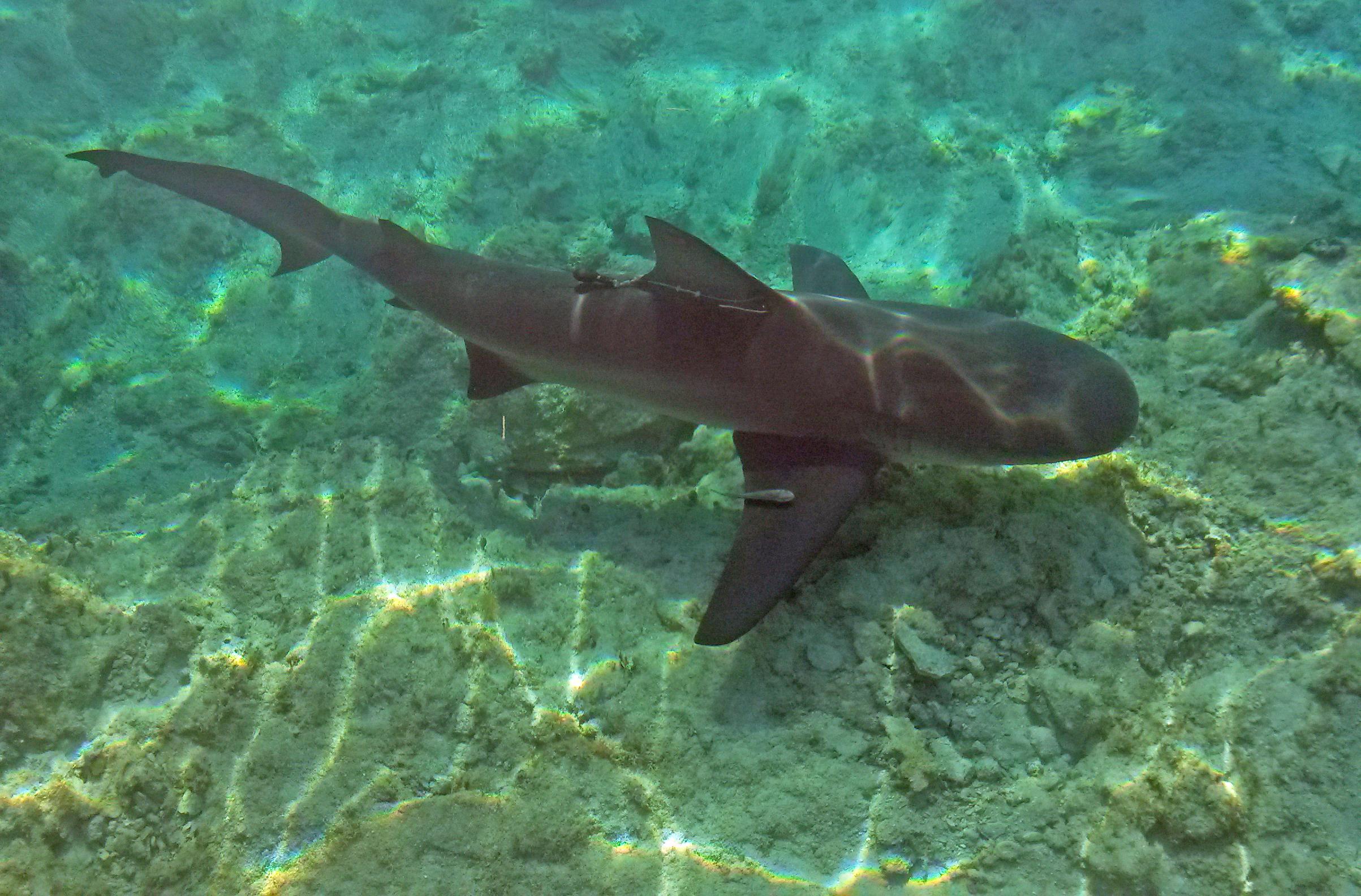 Bull Shark X Tag