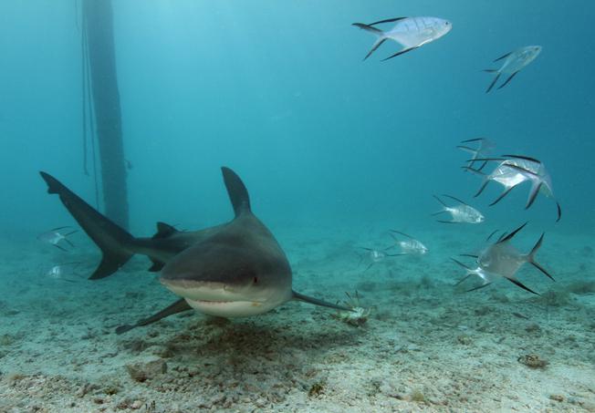 The Bahamas Bull Shark Project — Cape Eleuthera Institute