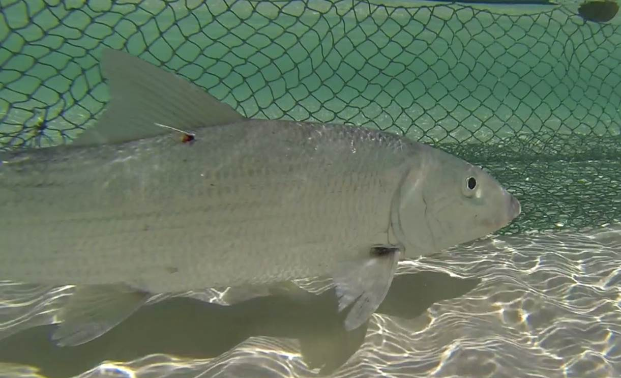 bonefish seine net