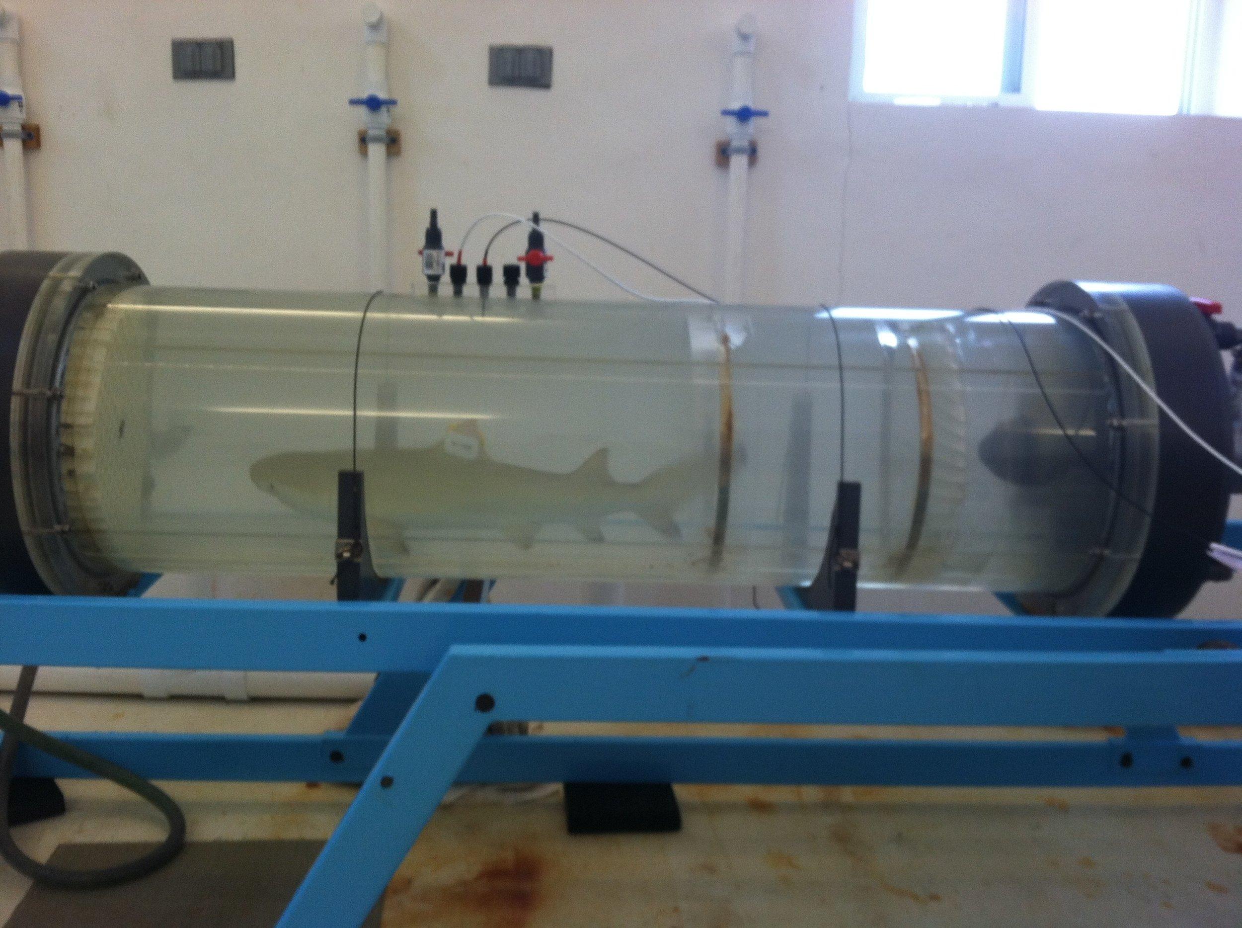 swim tunnel lemon shark