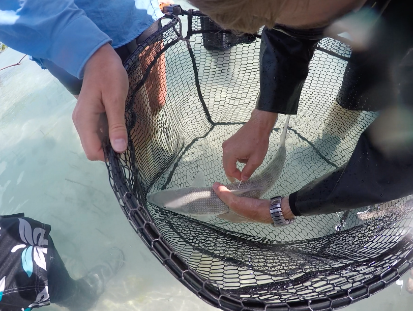 Adrian Feiler tags a bonefish with a uniquely coded spaghetti tag.