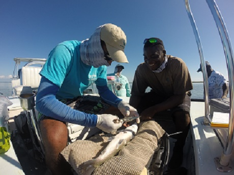 Justin Lewis (Bahamas Initiative coordinator for the Bonefish and Tarpon Trust) and Malcom Goodman (Research Assistant with the Cape Eleuthera Institute) perform surgery on a bonefish in October, 2014