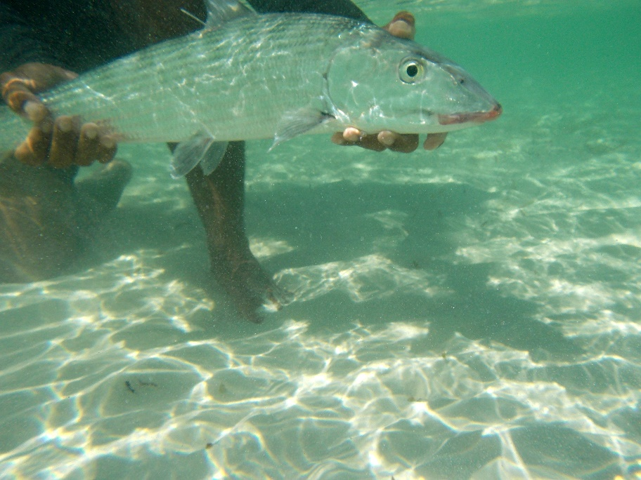 A healthy bonefish being released after surgery.