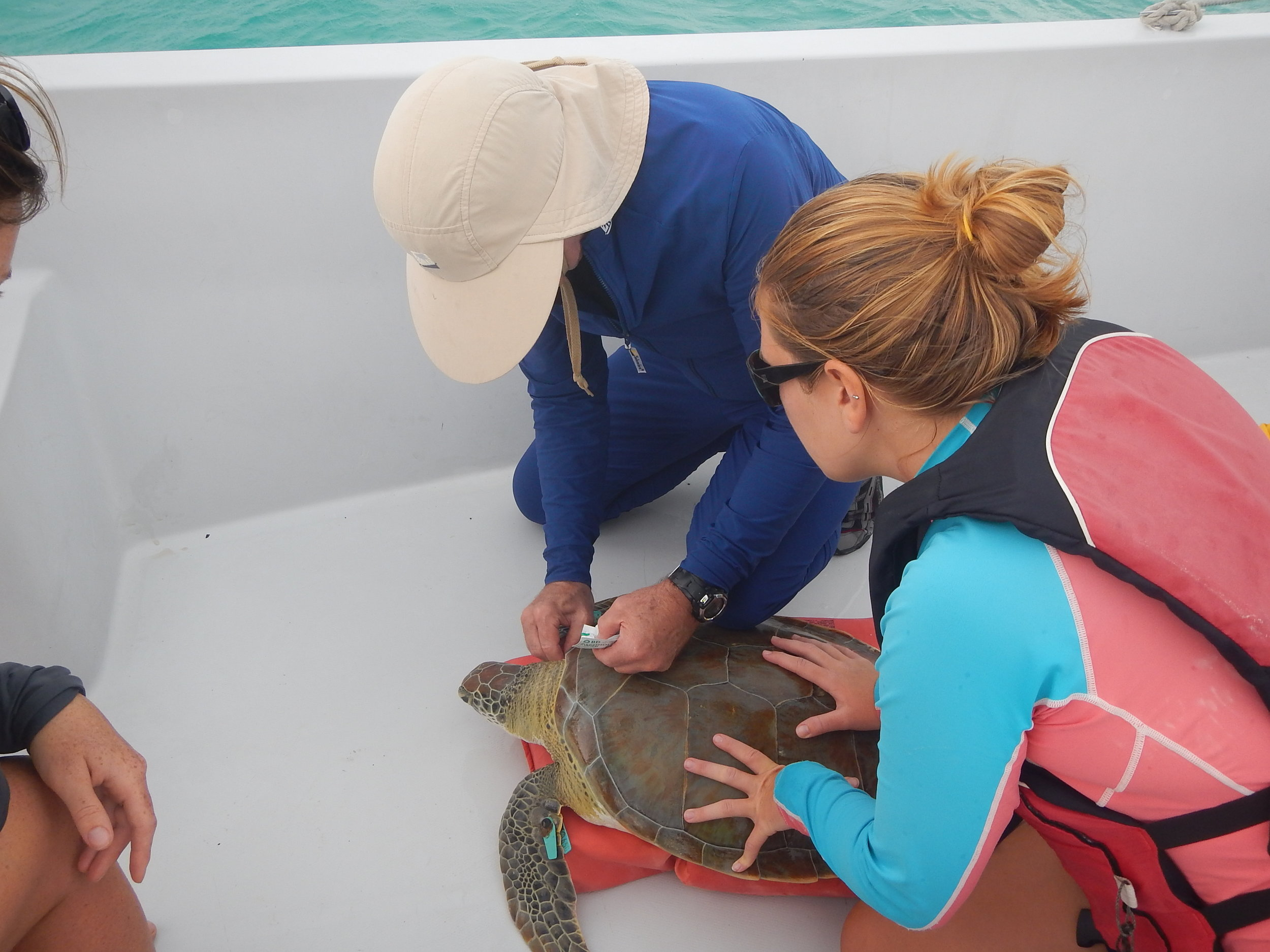 Research assistant of the Sea Turtle Research Program, Rachel Miller, watching Dr. Alan Bolten take a biopsy from a green sea turtle caught in Starved Creek, The Bahamas.