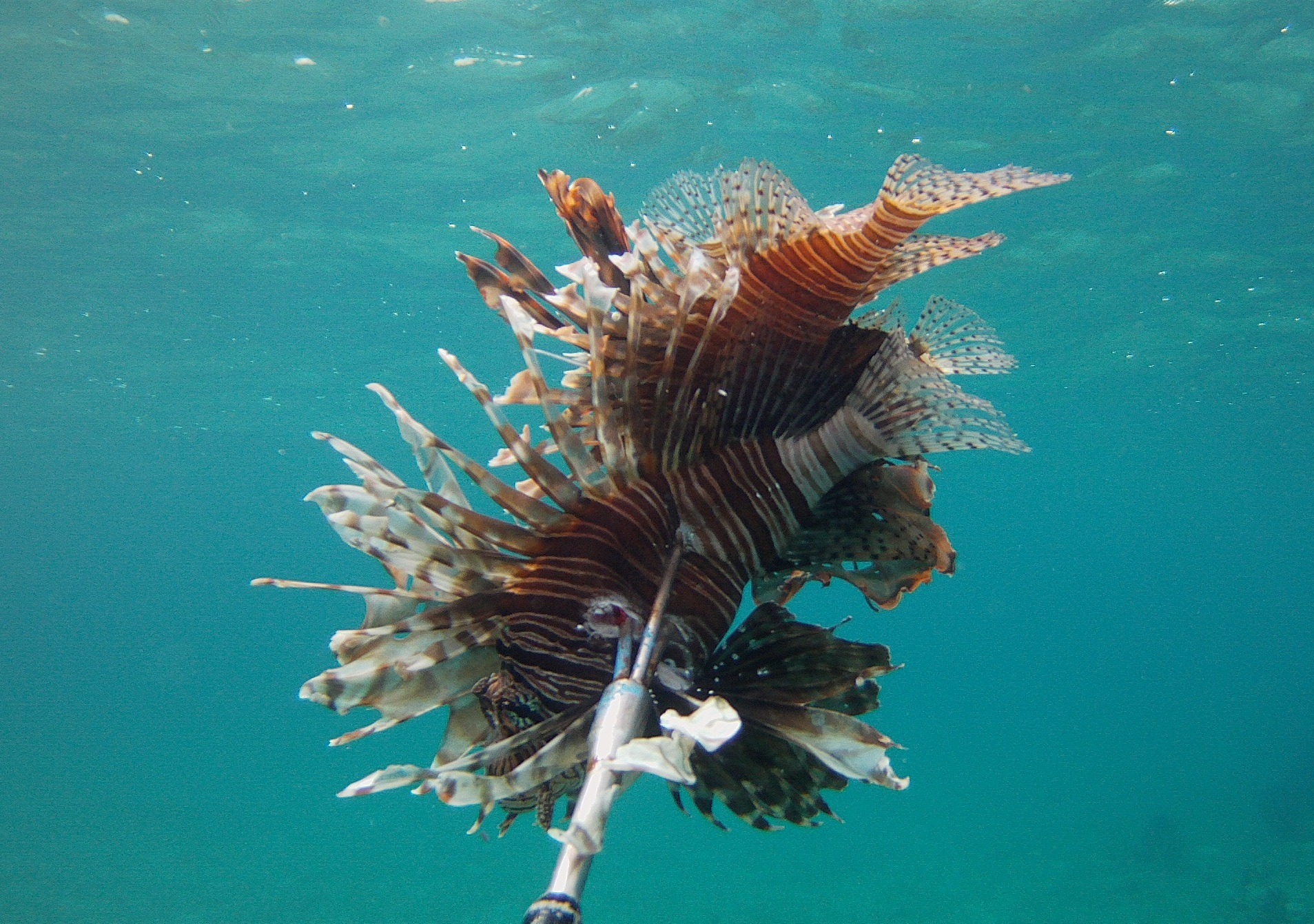 One of the lionfish removed during surveys