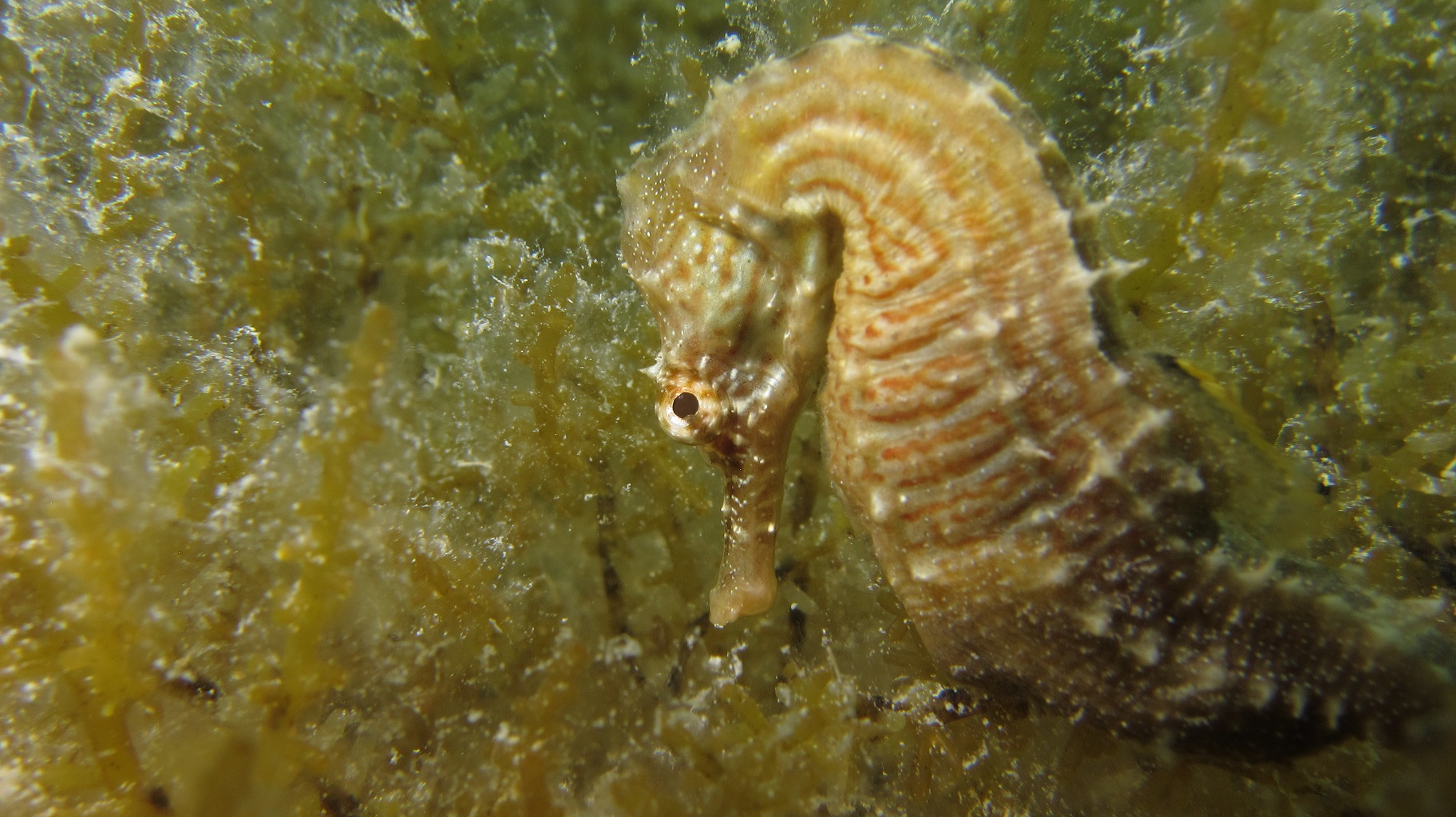 One of the many seahorses found in Sweetings Pond