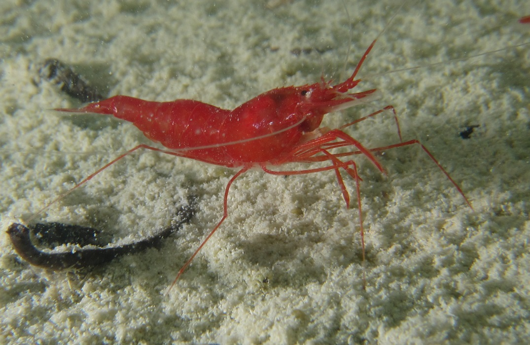 Unknown species of red shrimp discovered in the ponds