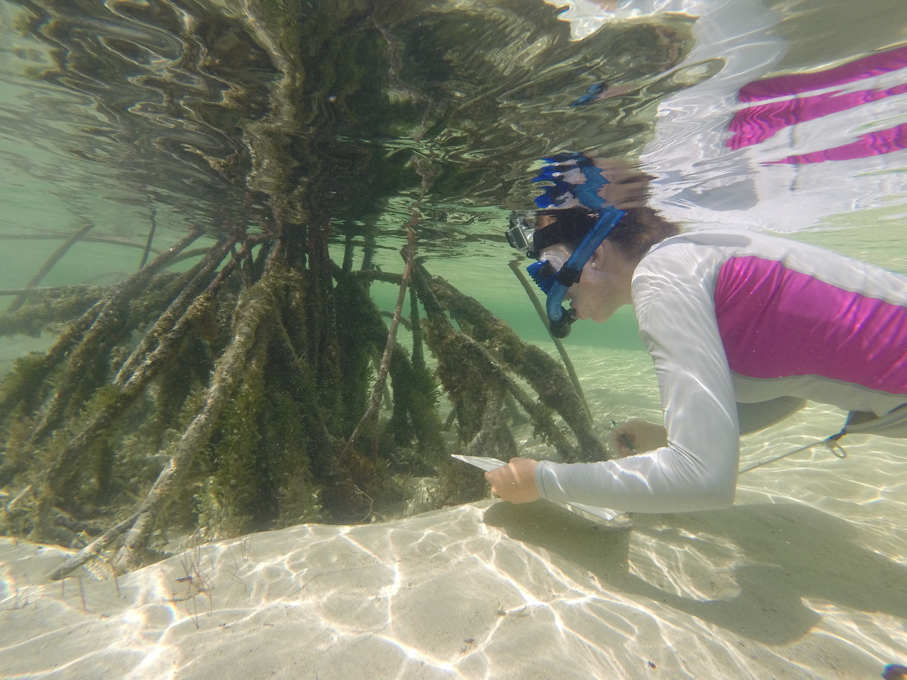 Phoebe observes fish interactions in the roots of the red mangrove