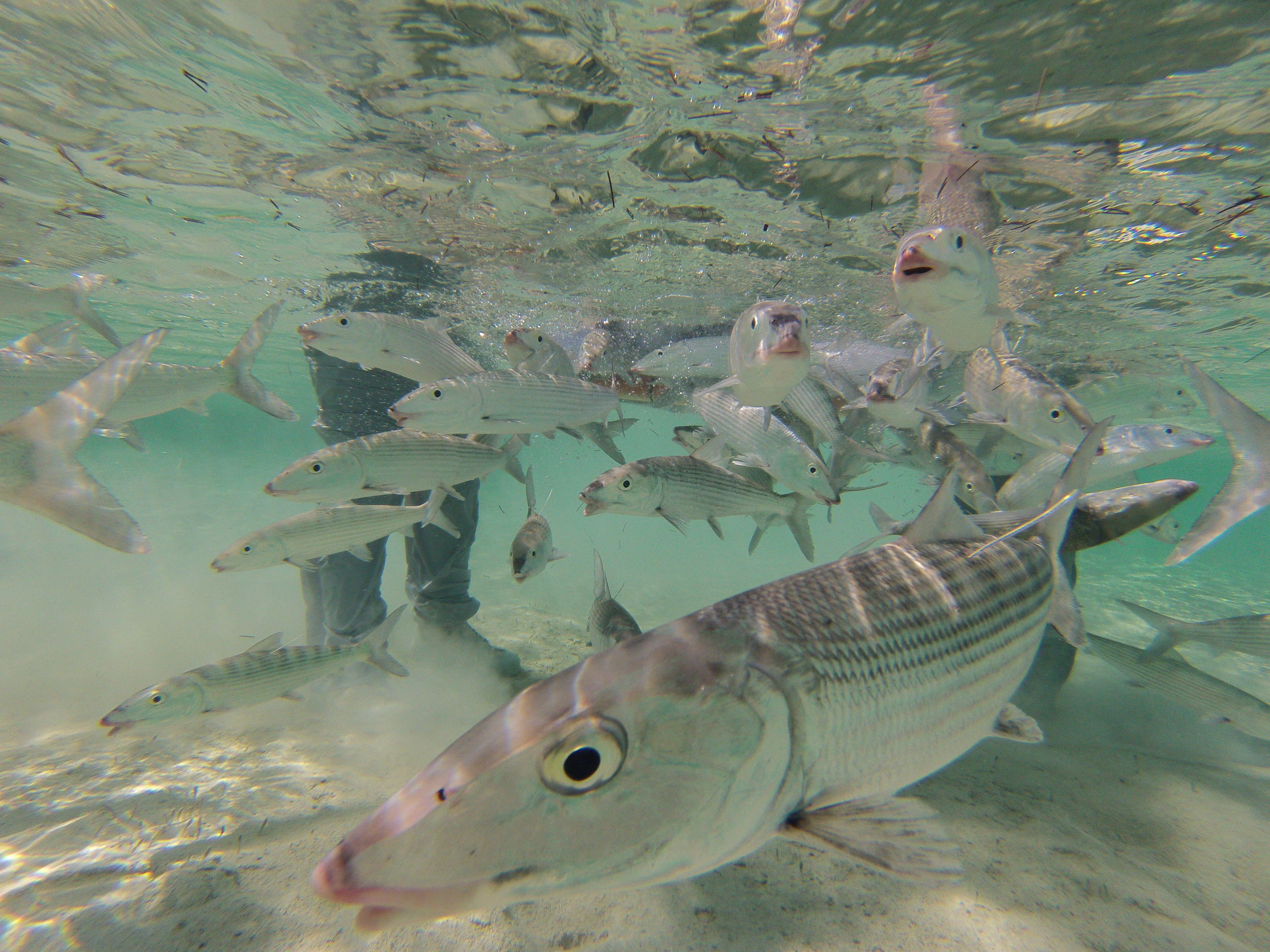 Freshly tagged bonefish being released.