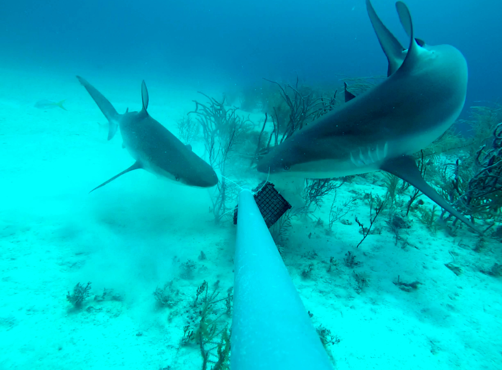 Two Caribbean reef sharks (Carcharhinus perezi) feeding from a bait crate