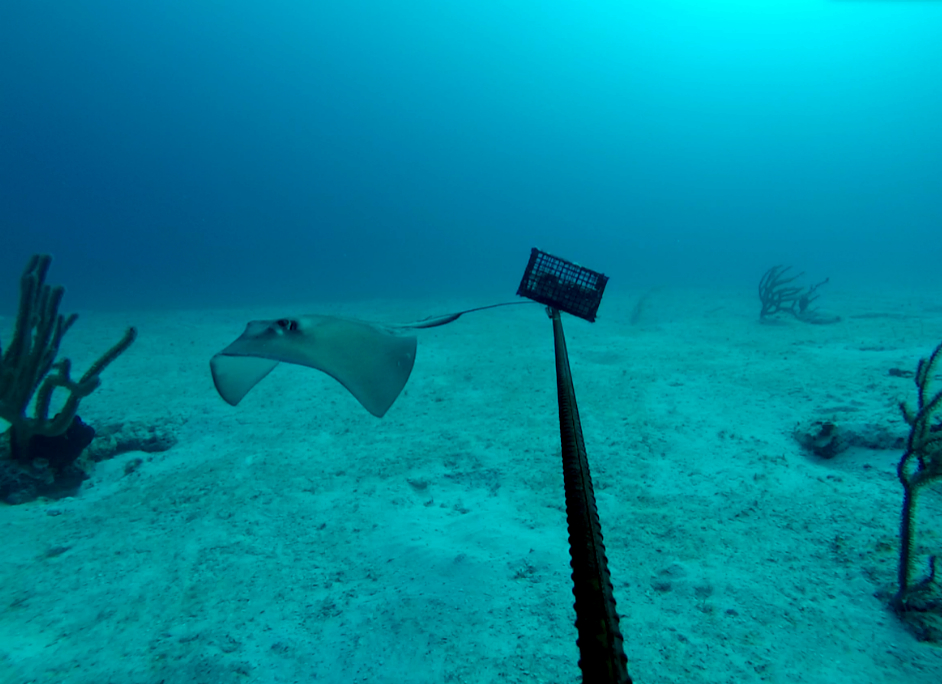 A southern stingray (Dasyatis americana) passing a BRUV unit