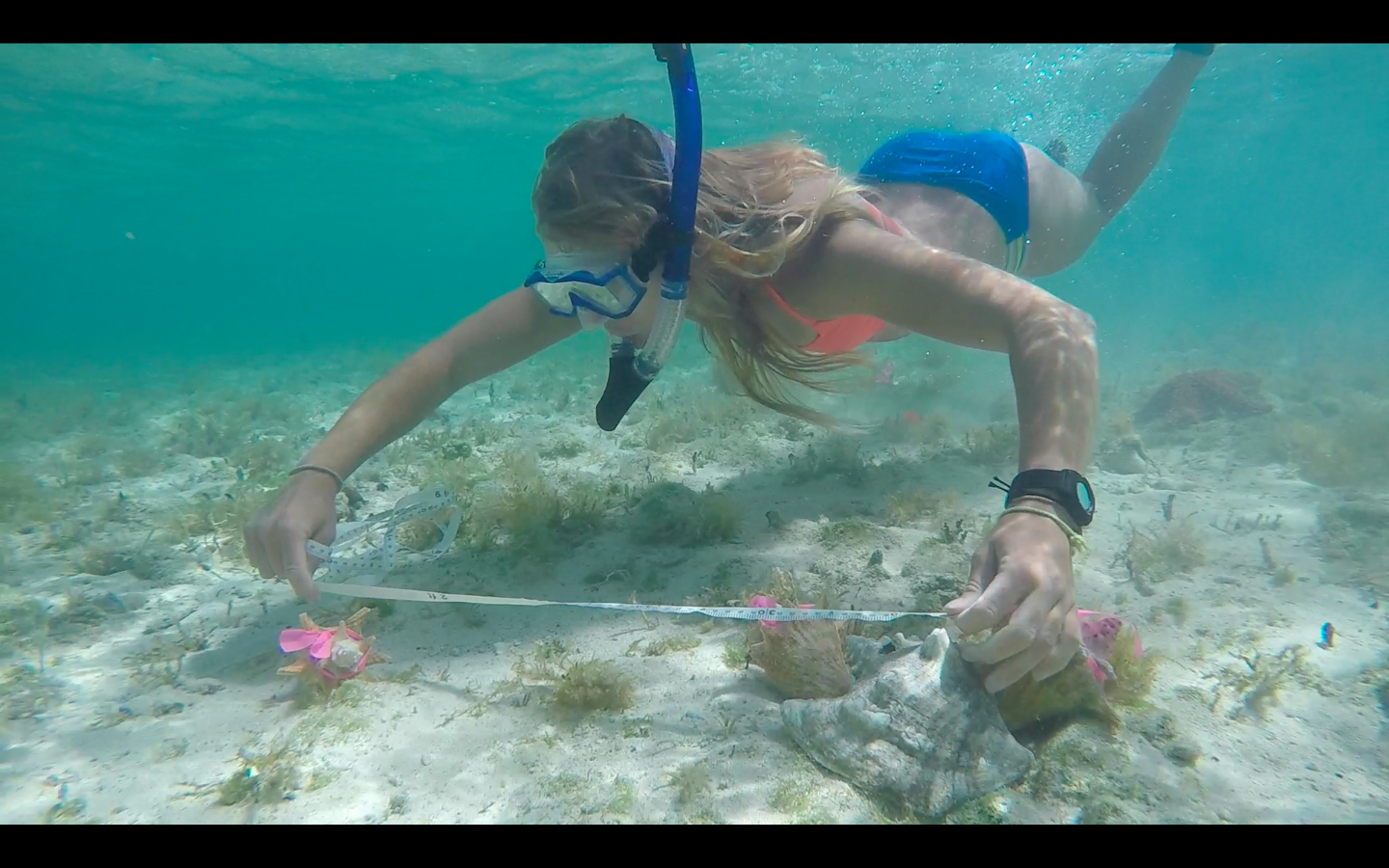Sustainable Fisheries intern Cara measures the distance moved by a conch in a behavioral trial