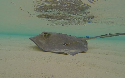 Southern stingray fitted with iButton swims away after release