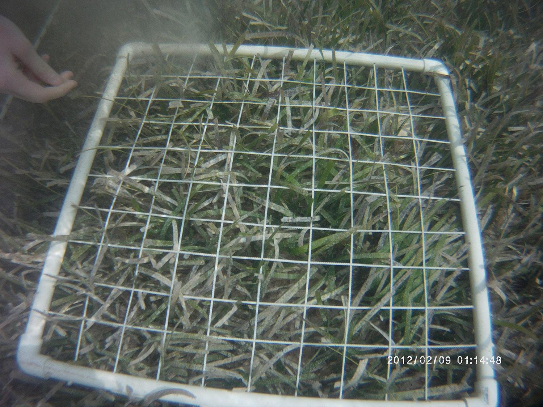 Quadrat use to estimate seagrass and algae cover