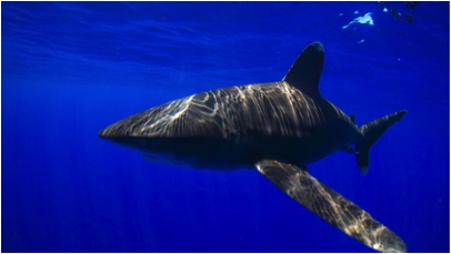 The oceanic whitetip shark (Carcharhinus longimanus). Photo by Sean Williams.
