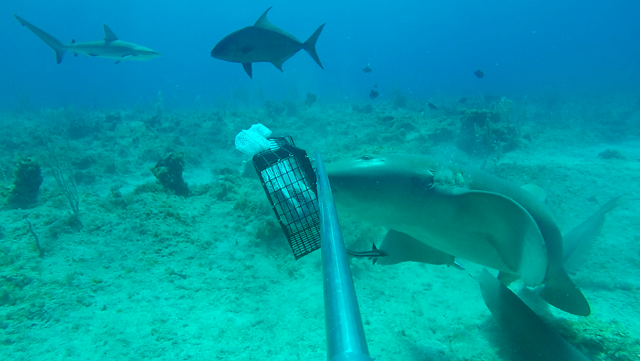 A nurse shark (Ginglymostoma cirratum) attempting to take a bite from the bait cage while a Caribbean reef shark (Carcharhinus perezi) and bar jack (Carangoides ruber) swim behind during a baited remote underwater video (BRUV) off of San Salvador Island, the Bahamas.