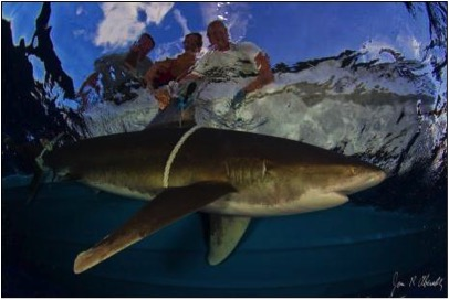 Working up an oceanic whitetip and attaching a satellite tag.