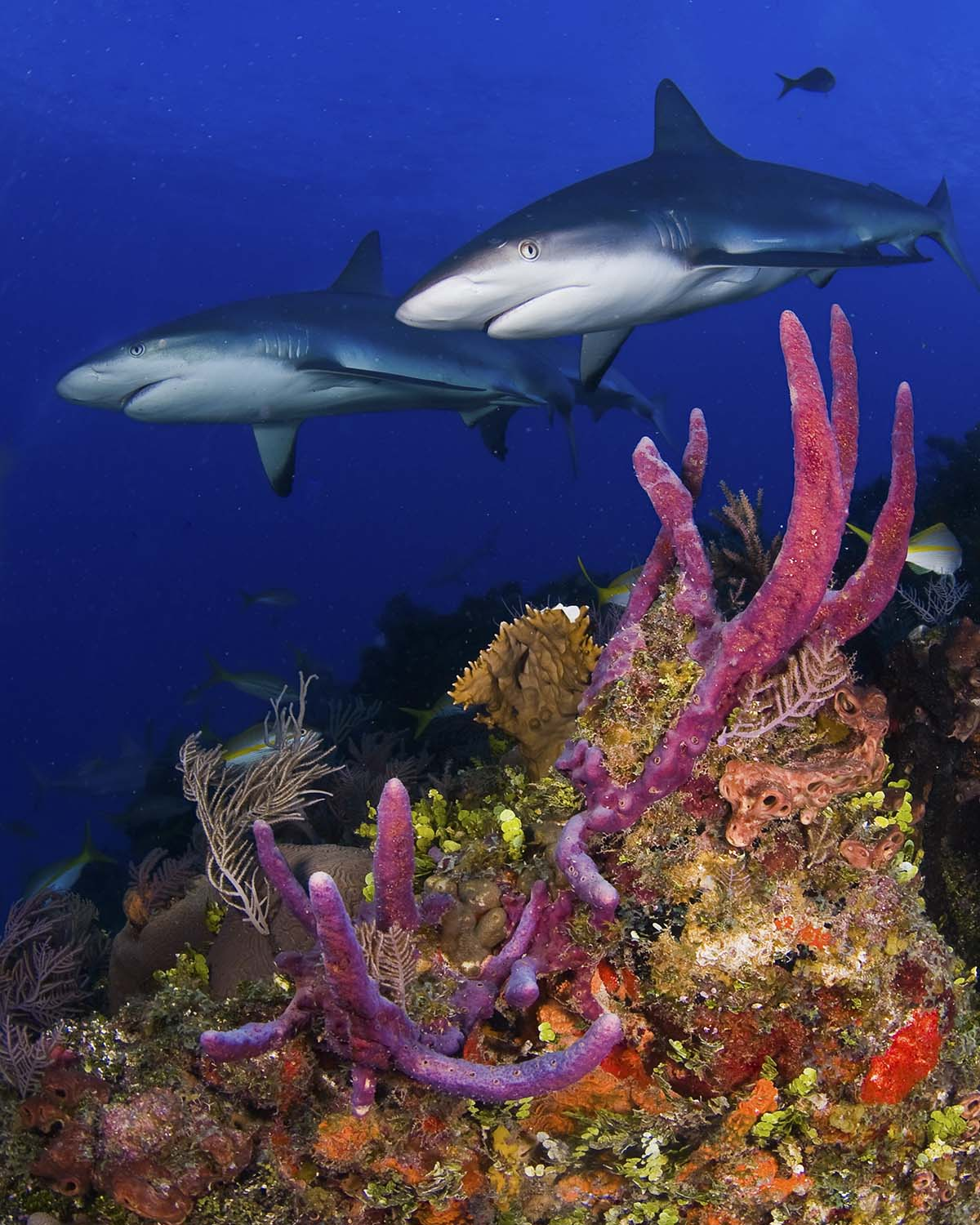 Caribbean Reef Sharks - photo by Jim Abernethy