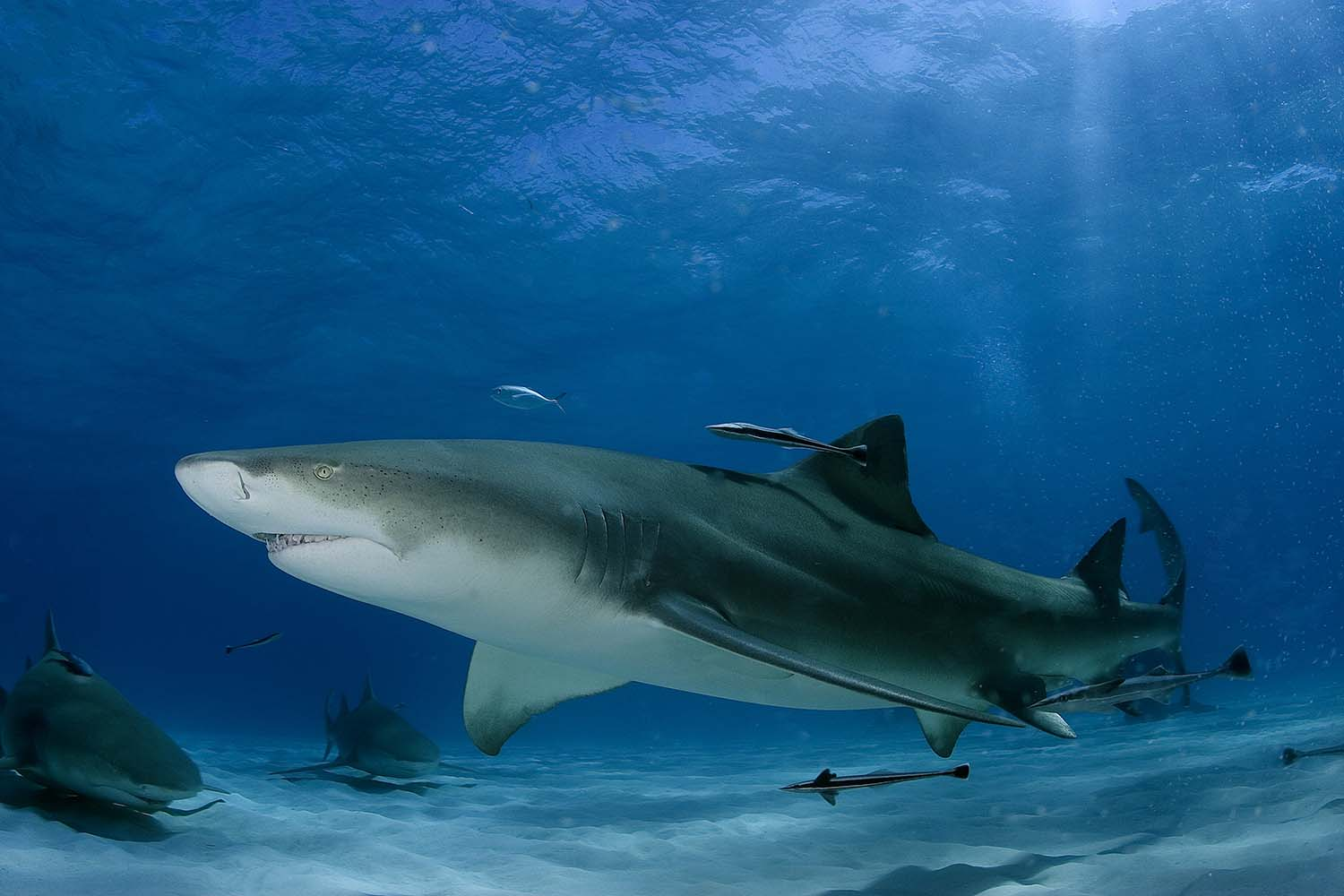 Lemon Shark - photo by Jim Abernethy