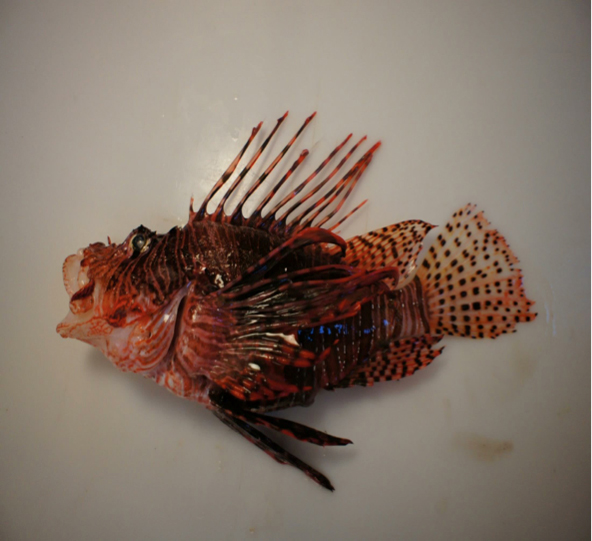 Diagram of a red lionfish clearly depicting its 18 venomous spines and general anatomy.