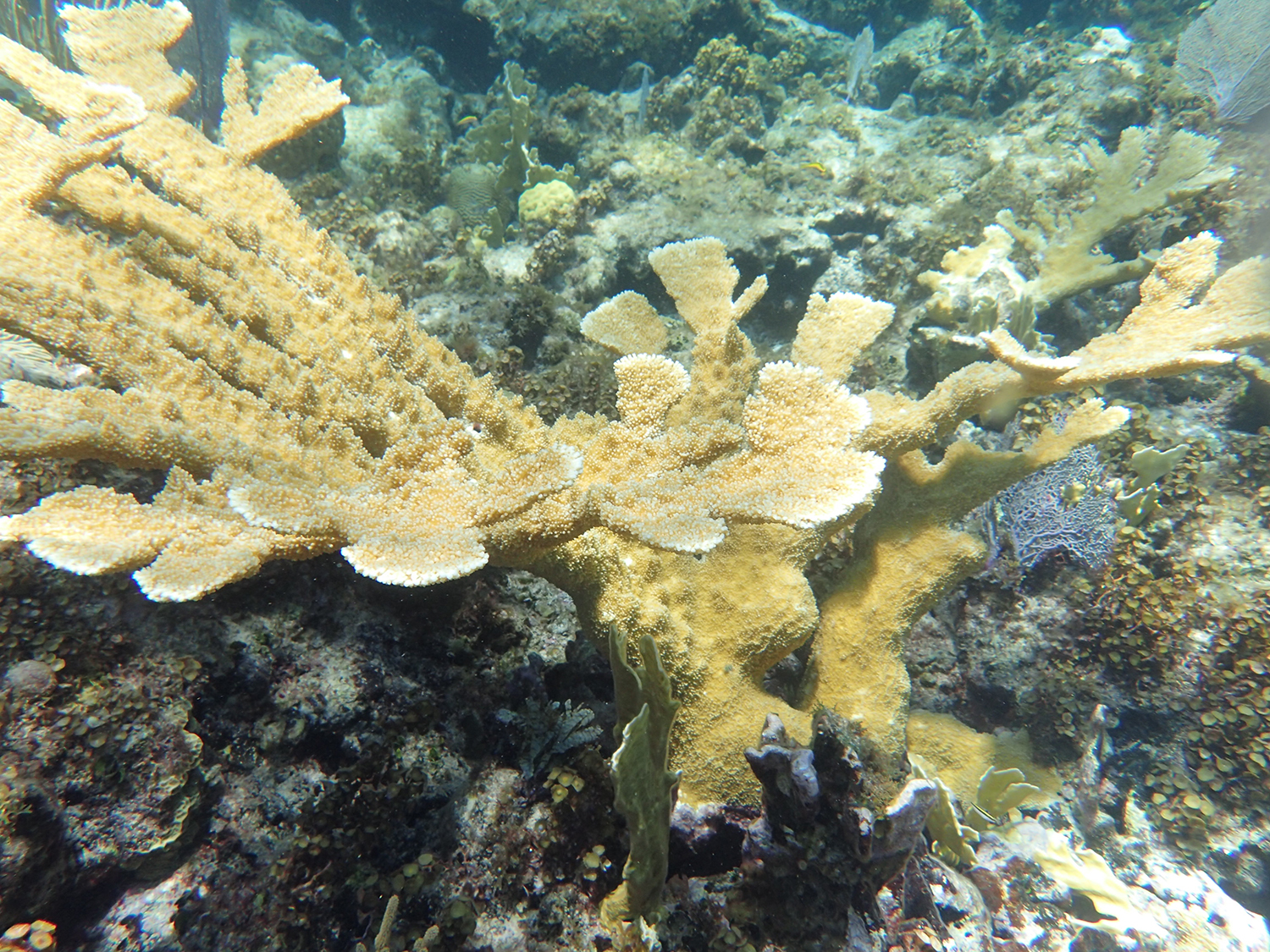 Elhorn coral colony (Photo C. Dahlgren)