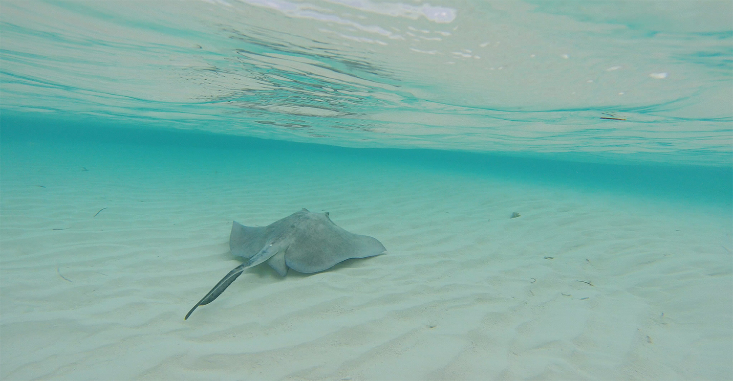 A female southern stingray is released after being sampled for stable isotopes