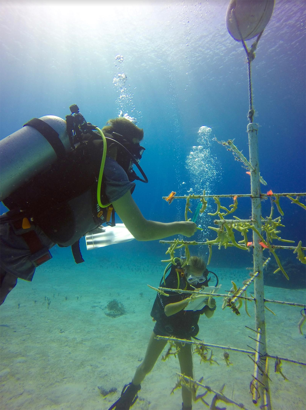 Island School students aid in the monitoring and upkeep of our coral nurseries. In the above photo, students are measuring Staghorn coral (Acropora cervicornis) in order to track its growth rate. (Photo_ Brittany Munson)