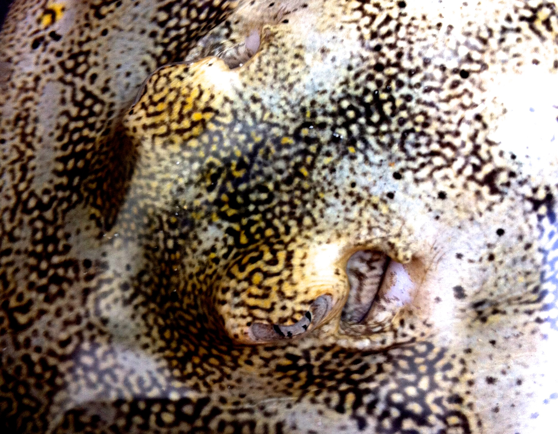Yellow ray close up