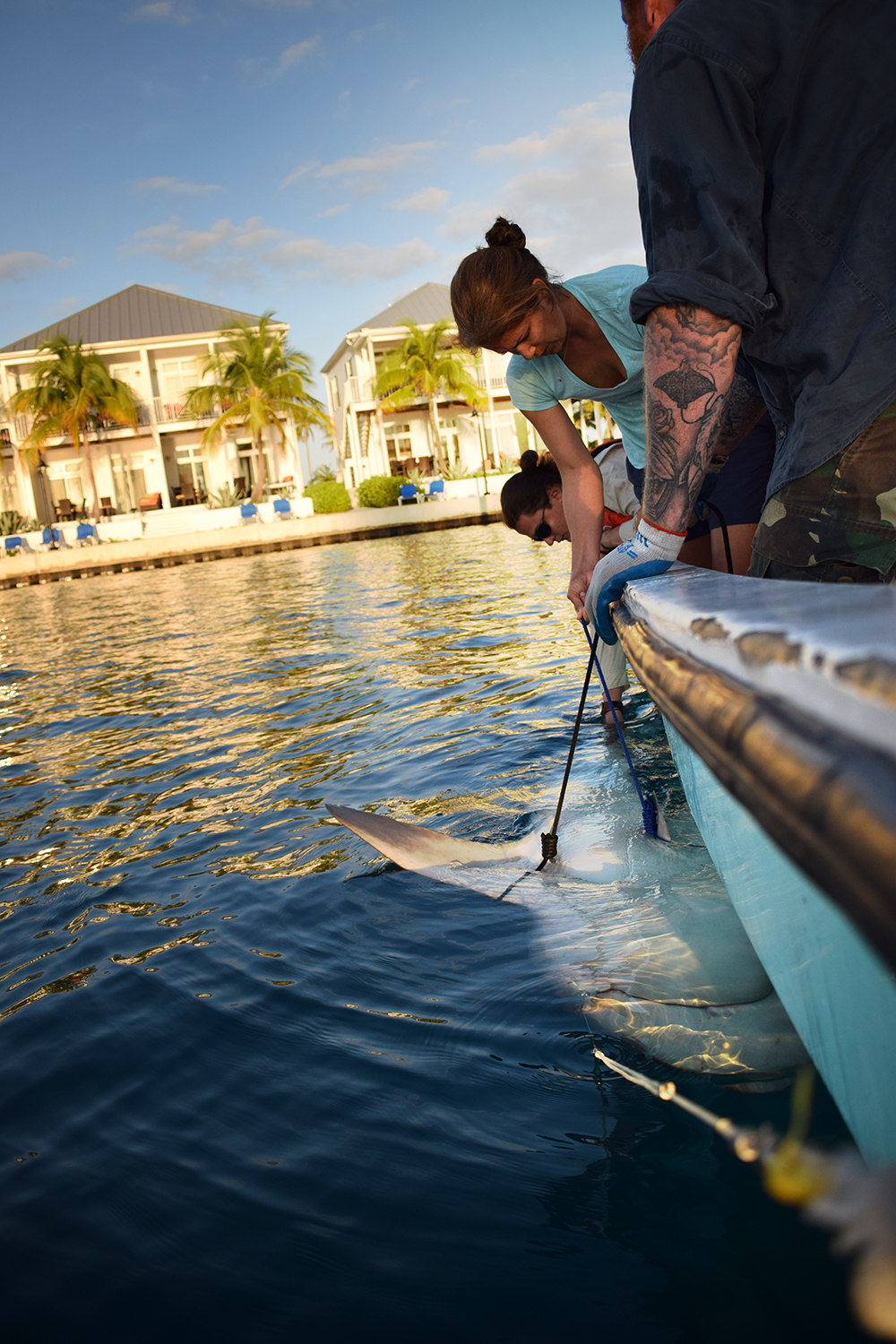 The bull shark is secured to the side of the boat whilst being held in a state of tonic immobility