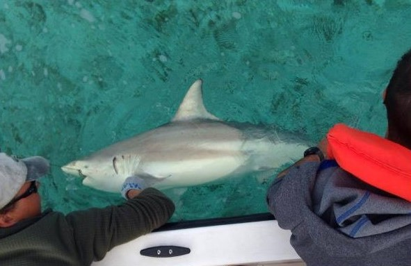 A mature blacktip shark is secured alongside the boat before being fitted with an acoustic transmitter.
