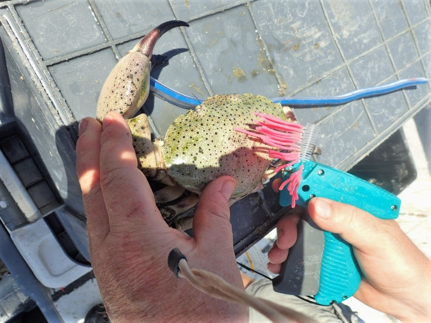 A Floy tag is inserted in to a crab that had one claw removed.