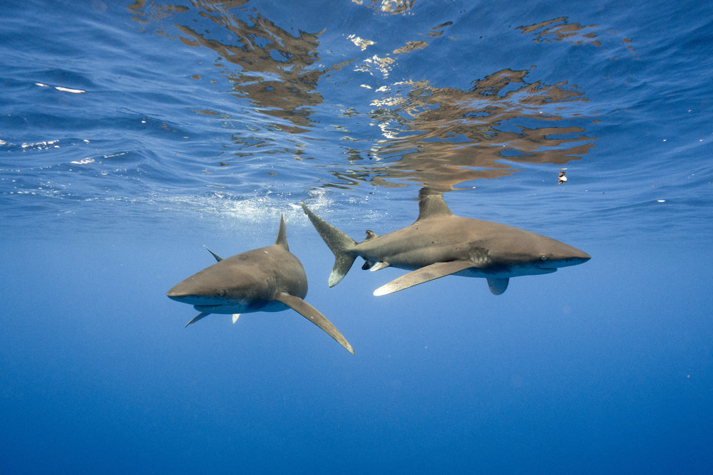 Oceanic whitetips swimming in the deep waters off Cat Island.